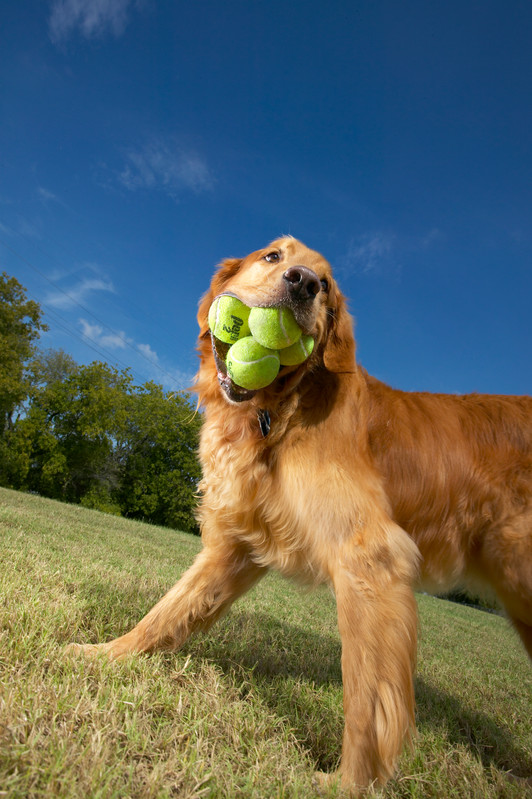 dog_Most tennis balls held in the mouth - dog