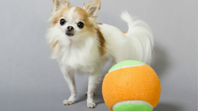 dog_Smallest service dog