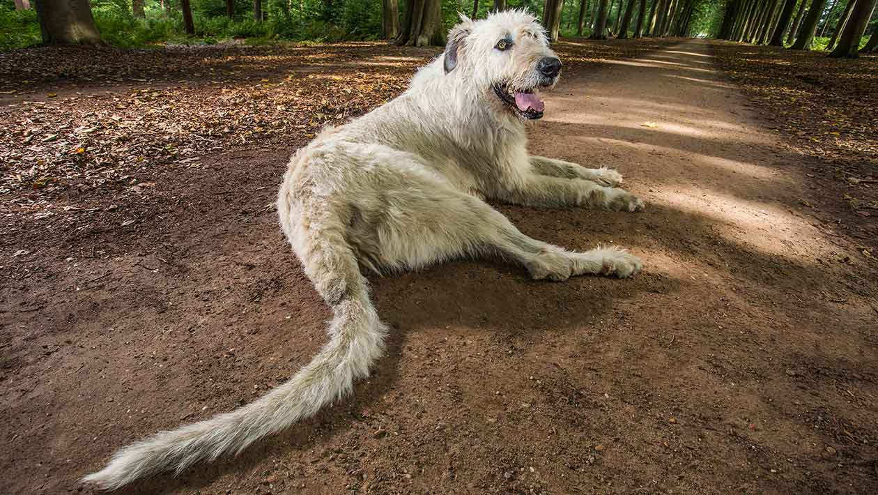 dog_Longest-tail-on-a-dog