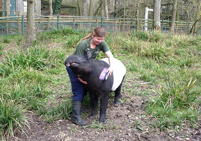 Kingut enjoying a brush from Port Lympne's tapir keeper, Alice Elliot
