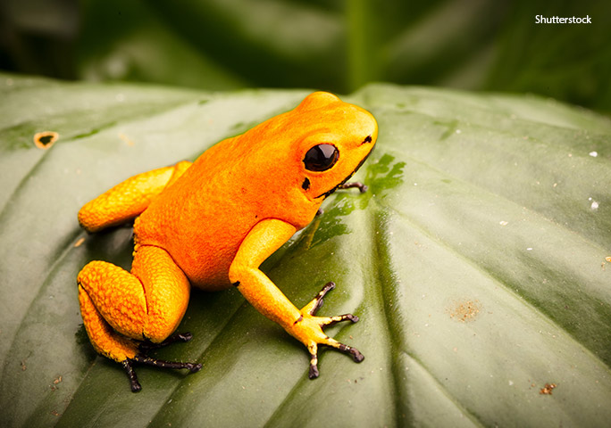 golden-poison-dart-frog