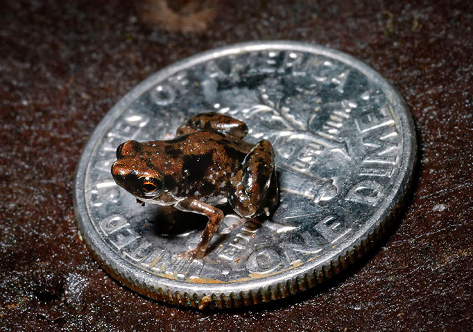 smallest-amphibian